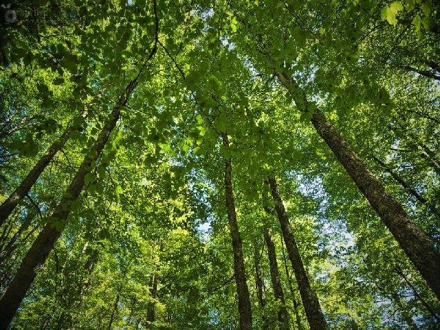 Romsilva a obtinut certificarea managementului forestier pentru alte 127.000 de hectare paduri de stat
