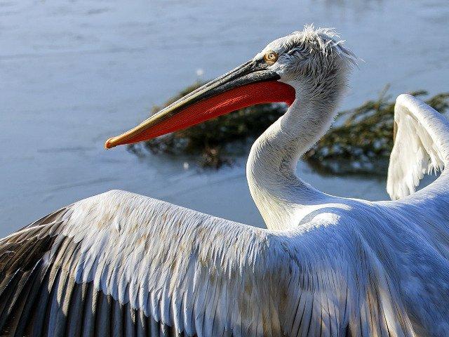 De la iepurele gigant la pelicanul cret: 10 cele mai mari animale din lume