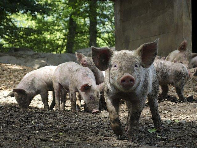 Colegiul Medicilor Veterinari: Nu exista in nicio tara din lume specialisti in pesta porcina africana