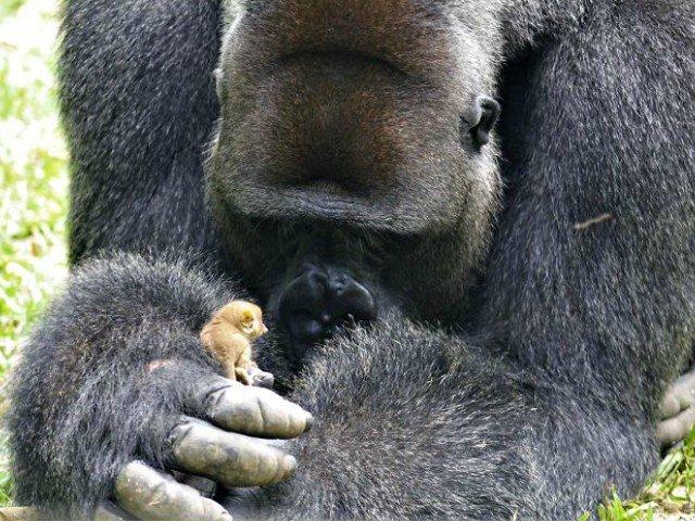 Reactia amuzanta a unei gorile care gaseste o vietate de 200 de grame / VIDEO