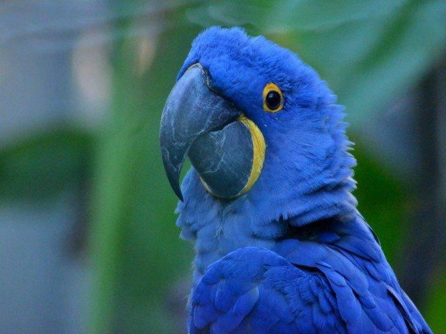 Studii recente arata ca papagalul Spix nu mai exista in salbaticie/ VIDEO