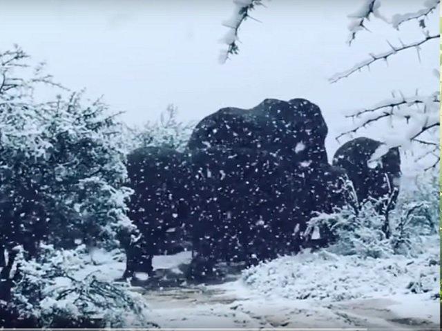A nins in Africa de Sud: imagini impresionante cu zebre si elefanti in zapada
