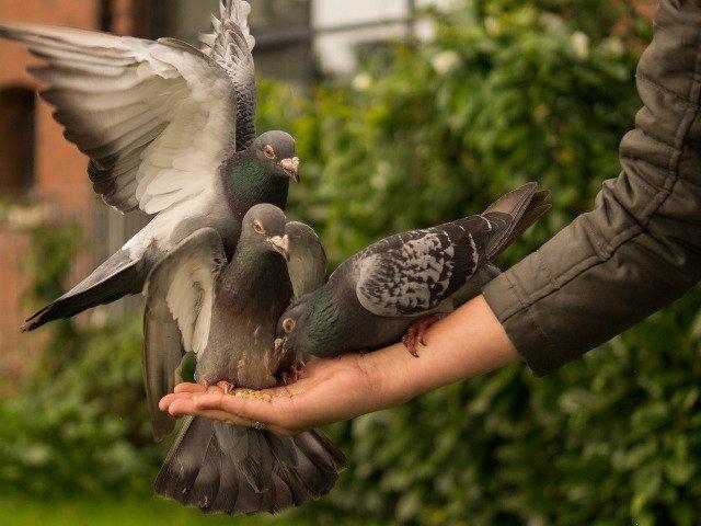 Hranirea porumbeilor in zonele publice din Thailanda ar putea fi pedepsita cu inchisoarea