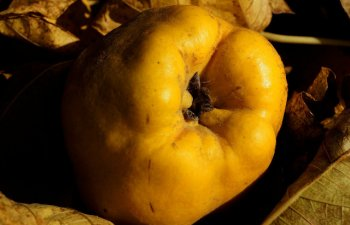 10 motive pentru care ar fi bine sa consumi gutui in fiecare toamna