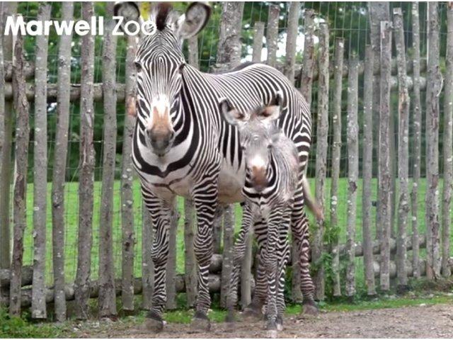 Un pui de zebra dintr-o specie pe cale de disparitie s-a nascut la o gradina zoo din Anglia / VIDEO
