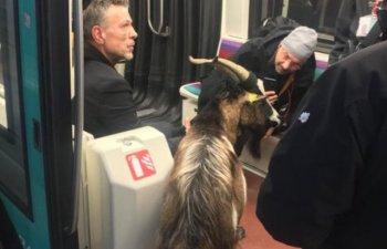 Un barbat a furat o capra de langa Muzeul Luvru si a plimbat-o cu metroul / VIDEO