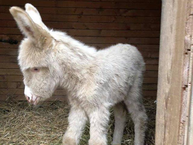 Un magarus alb s-a nascut La Gradina Zoologica din Resita/ FOTO