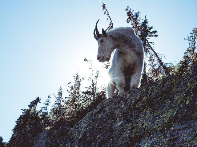 Motivul pentru care capra de munte este un bun catarator/ VIDEO