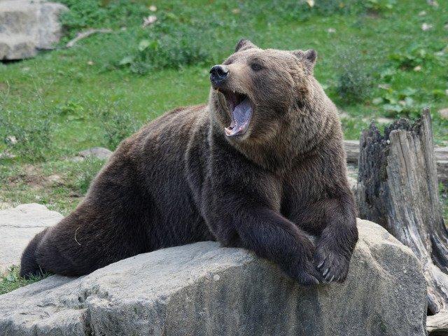Un barbat a fost omorat de un urs pe care l-a crescut de cand era pui