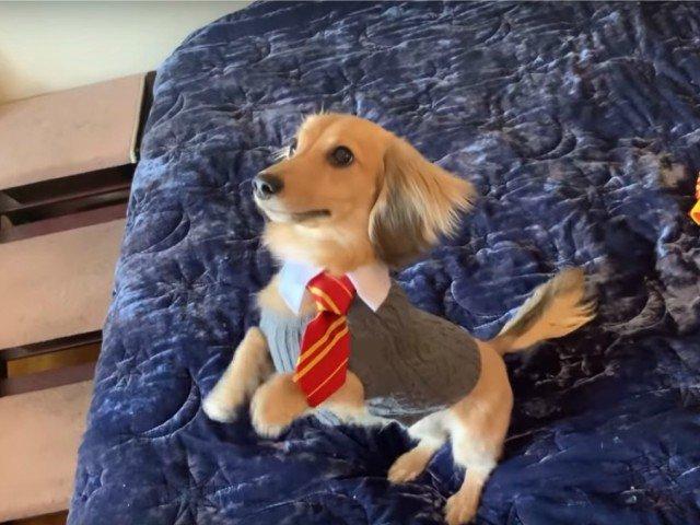 Un caine a fost antrenat sa raspunda la comenzile de vraja din cartile Harry Potter / VIDEO