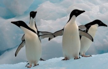 O colonie de pinguini Adelie din Antarctica, afectata de topirea precoce a ghetii