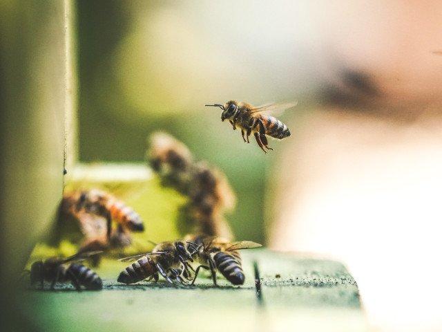 Albinele pot rezolva calcule matematice simple, arata un studiu