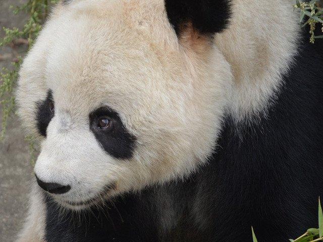 O fetita din China a cazut in spatiul ursilor panda la o gradina zoo. Cum a fost salvata/ VIDEO