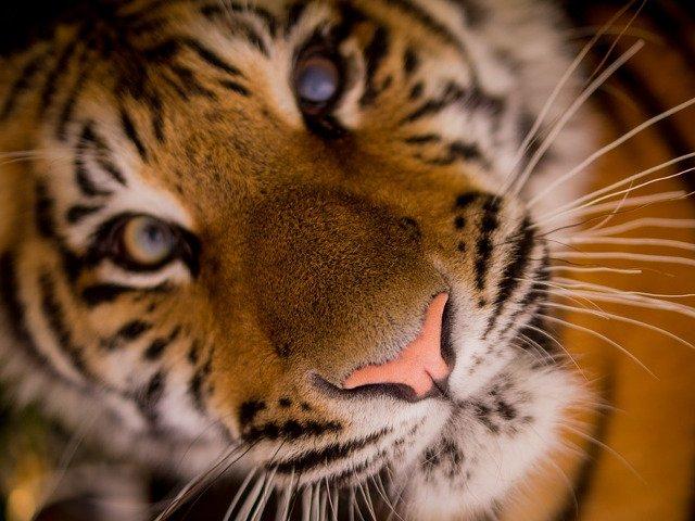 Un barbat care a intrat intr-o casa abandonata pentru a fuma marijuana s-a intalnit cu un tigru
