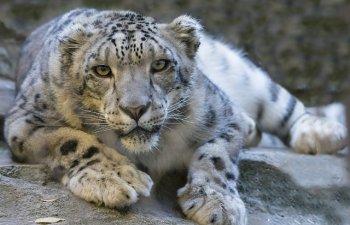 Leoparzi de zapada, considerati animale