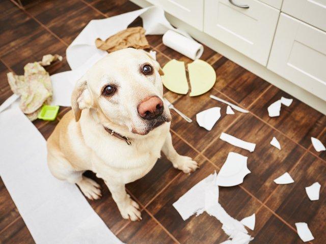 Cu ce se ocupa cainii cand stapanii nu sunt prin preajma: 10+ imagini ale dezastrului