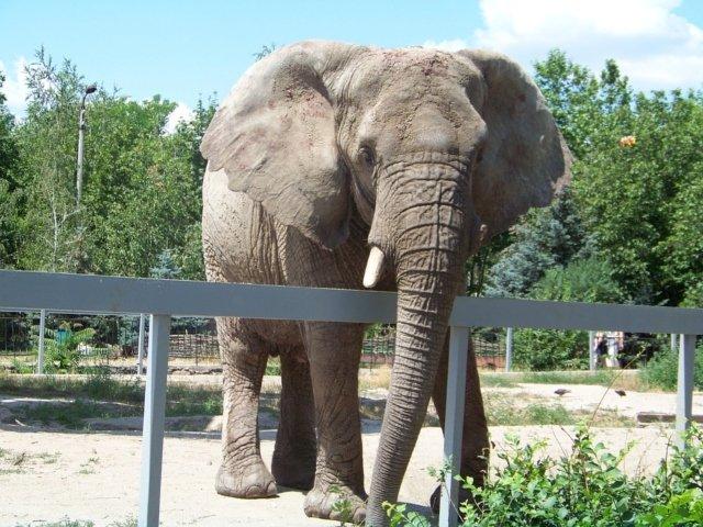 """""""Cel mai trist elefant din lume"""" a murit dupa 43 de ani de captivitate"""