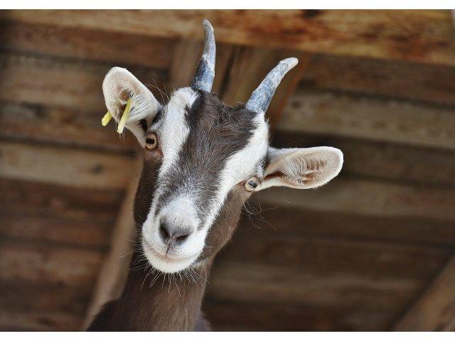 Locuitorii unei asezari din SUA au ales o capra in functia de primar onorific