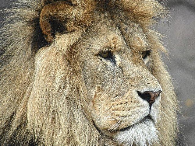 Un leu scapat dintr-un parc national si-a petrecut noaptea intr-o celula a politiei / VIDEO