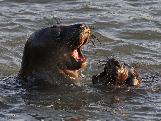 O regiune din Orientul Indepartat Rus va incepe sa produca in masa carnati de foca
