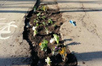 Cativa cetateni au plantat flori in gropile aflate pe trotuarele de pe bd. Kiseleff/ FOTO