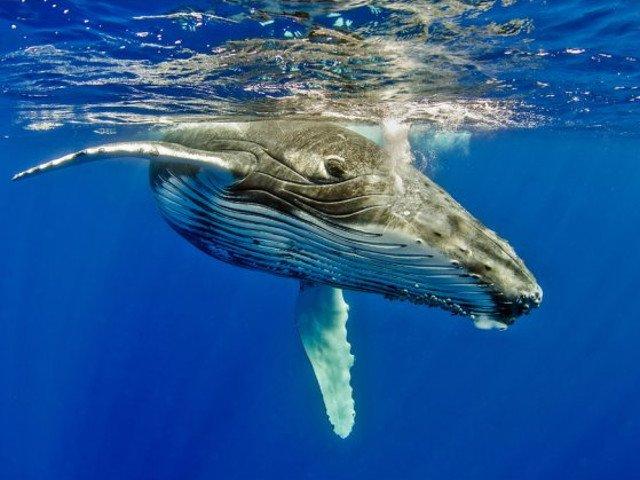 O balena insarcinata, gasita moarta cu peste 20 de kilograme de plastic in stomac
