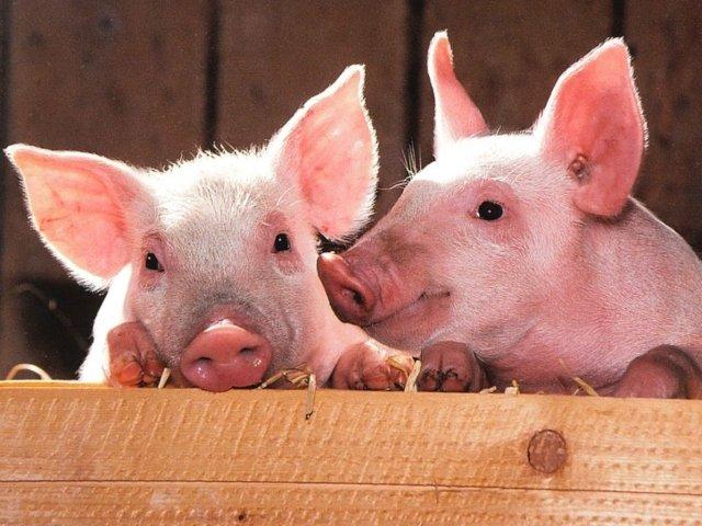 """Cercetatorii au """"reinviat"""" creieri de porci la cateva ore de la moartea animalelor"""
