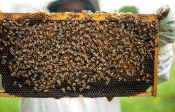 Albinele de la Notre-Dame au supravietuit incendiului/ FOTO