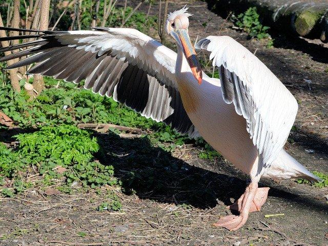 O femeie de 73 de ani, acuzata de acte de tortura asupra animalelor dupa ce a rapit un pelican