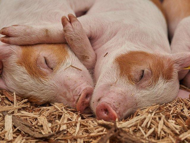 20+ imagini haioase care demonstreaza ca porcii pot fi mai simpatici decat iti imaginai