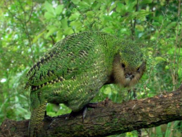 Un papagal dintr-o specie pe cale de disparitie a fost operat pe creier