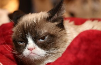 A murit Grumpy Cat. Una dintre cele mai faimoase pisici din lume avea 7 ani