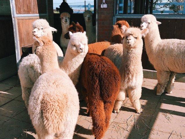 10+ curiozitati despre alpaca: de ce zumzaie aceste animale si cum pot ajuta bolnavii