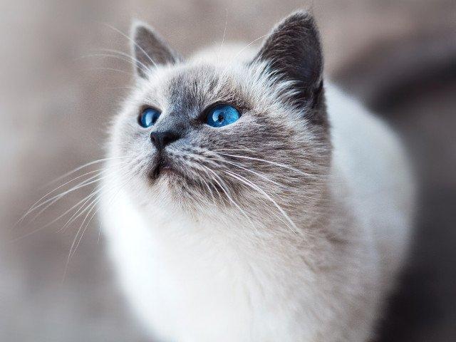 Au cei mai frumosi ochi din lume? 20+ pisici care hipnotizeaza cu privirea calda si patrunzatoare
