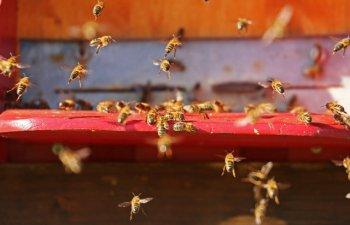 S-a rasturnat un autocamion incarcat cu peste 130 de milioane de albine. Roiurile de insecte s-au raspandit/ FOTO
