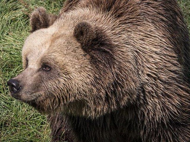 """Un urs, surprins alergand prin curtea unei scoli din Breaza: """"Copiii s-au speriat cand l-au vazut pe geam"""""""