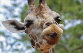 15+ imagini care demonstreaza ca girafele ar putea fi cele mai expresive din regnul animal