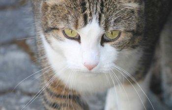 O pisica a supravietuit dupa ce a parcurs 60 km blocata sub capota unei masini/ FOTO