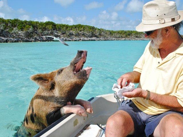 """""""Insula Porcilor"""" din Bahamas, atractie inedita pentru turisti / FOTO"""