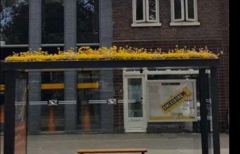 Intr-un oras din Olanda, statiile de autobuz au fost acoperite cu vegetatie pentru protejarea albinelor / VIDEO