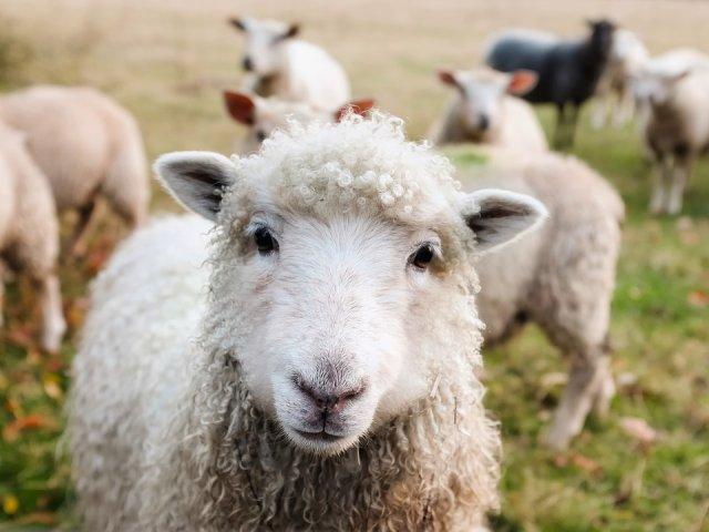 Un comisar european cere Romaniei sa opreasca transportul a 70.000 de oi catre tarile arabe