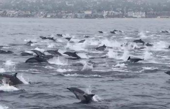 Spectacol impresionant oferit de sute de delfini surprinsi in largul coastelor din California / VIDEO