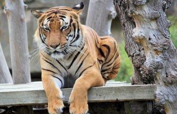 Un tigru a fost gasit relaxandu-se in casa unui satean, dupa ce parcul national unde statea a fost inundat
