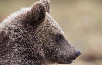 Ministrul Mediului, despre cei care hranesc ilegal ursii: Vom trece inclusiv la amenzi personale