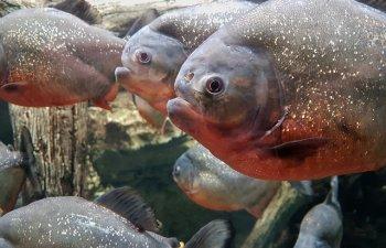 Mai multi pesti Piranha, prinsi in apele lacului de acumularea Firiza
