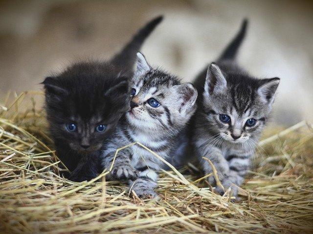 9 cele mai mici rase de pisici. Rar cantaresc mai mult de 4 kilograme