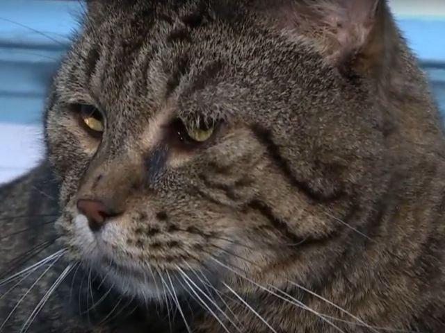O pisica ce cantareste peste 11 kilograme, adoptata dupa ce 3.000 de iubitori de animale si-au aratat interesul pentru felina/ VIDEO