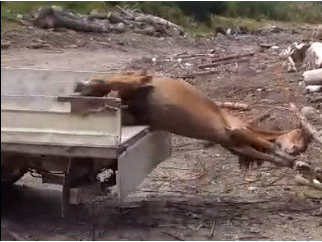 Patru barbati au torturat un cal si l-au folosit ca momeala pentru ursi in Muntii Rodnei
