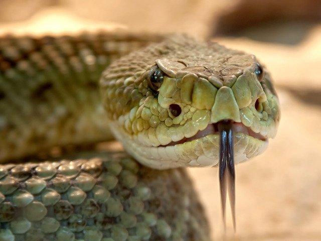 88 de reptile, printre care 43 de serpi veninosi, gasite in bagajele unui barbat pe aeroportul din Viena