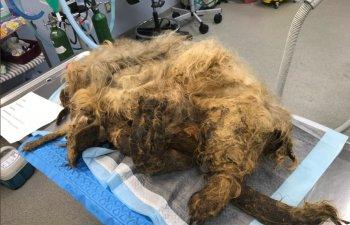 Un caine acoperit in intregime de blana a fost salvat de o echipa de veterinari